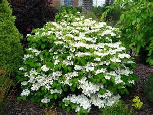 best 25 evergreen shrubs ideas on pinterest shrubs