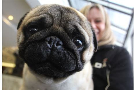 pug calgary 11 breeds with the worst temper and five on their best behaviour