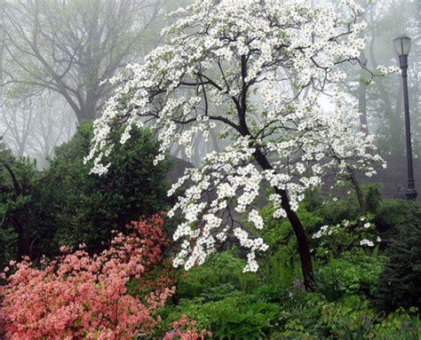 white dogwood tree garden love pinterest the fog