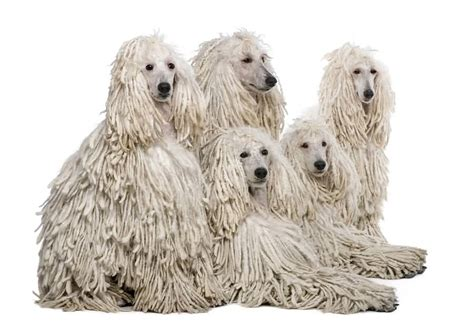poodles long hair in winter 60 cutest poodle dog images and pictures golfian com
