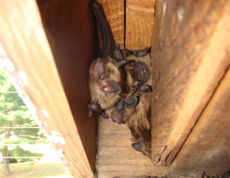 bat in the house new hshire bat removal a closer look at a nh bat removal project