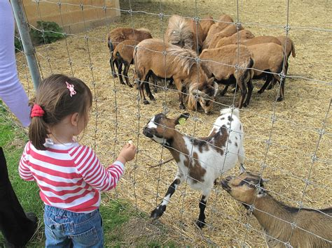 is feeding people food to pets ethical how to raise and care for pygmy goats