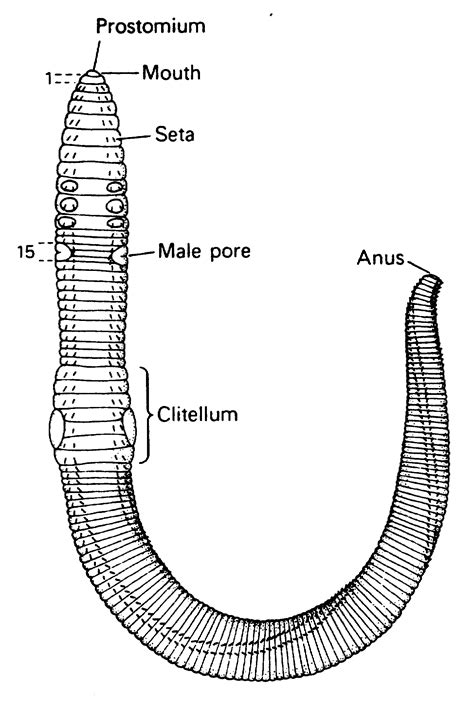 earthworm setae diagram animal biology 2 sciences 2022 with krist at