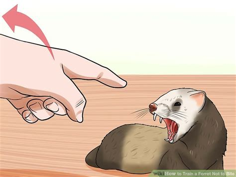 how to your not to bite you how to a ferret not to bite 10 steps with pictures
