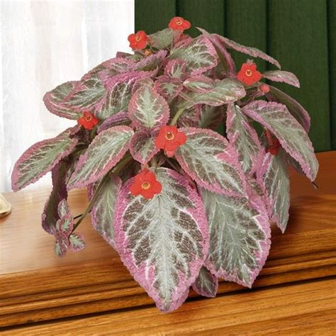 Bunga Violces Pink 205 best images about episcia kohleria on