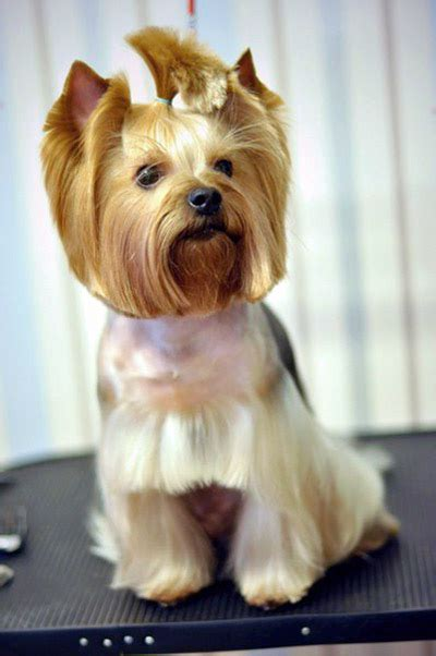 yorkie pics with hair explore yorkie haircuts pictures and select the best style