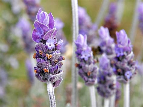 how to grow lavender gardening with charlie