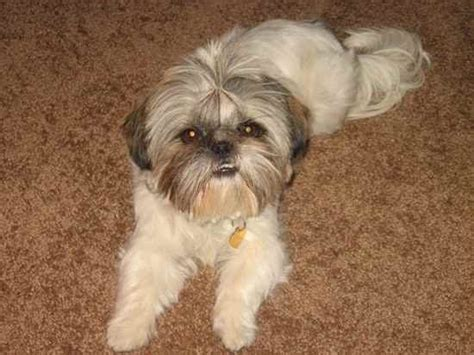 shih tzu mixes list shih tzu mix breeds breeds picture