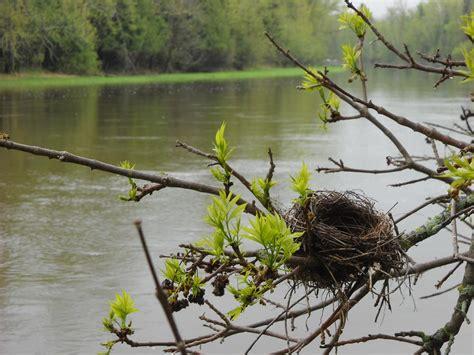 bird nest in ash tree branches by kent lorentzen - Birds Nest In Tree