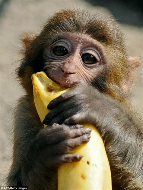 Monkilo Banana taser chocolate loving monkey after it attacked children at a school in marseilles