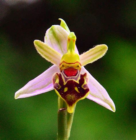 facts about the bee orchid orchids plus 5 weird plants from around the world greener on the inside