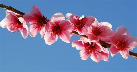fiori rosa fiori di pesco testo gocce di note fiori rosa fiori di pesco lucio battisti