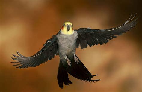 pappagallo calopsite alimentazione pappagalli nel mondo