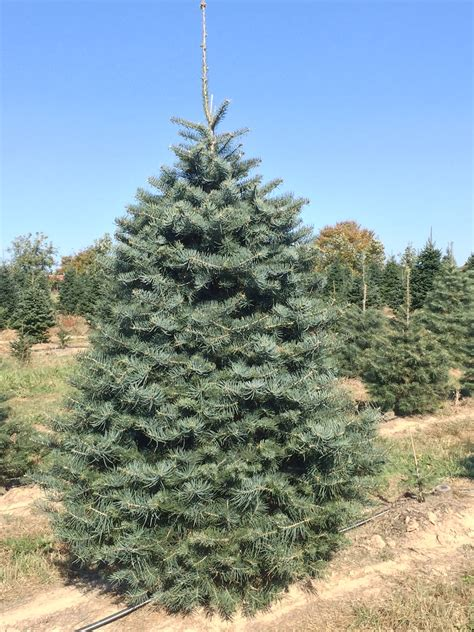 concolor smell like oranges christmas trees tree varieties s tree farm