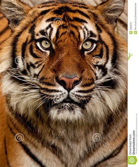 het portret van de tijger stock afbeelding afbeelding