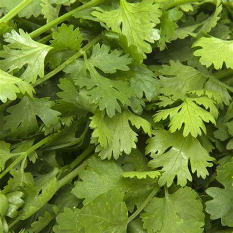 coriander indonesia fresho coriander leaves 250 gm buy online at best price