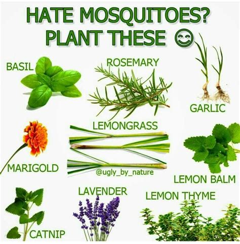 plants that keep away mosquitoes 25 best ideas about mosquito plants on pinterest plants