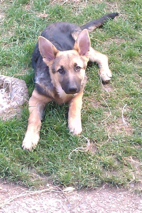 german hair puppy german shepherd hair pups horsham west sussex pets4homes