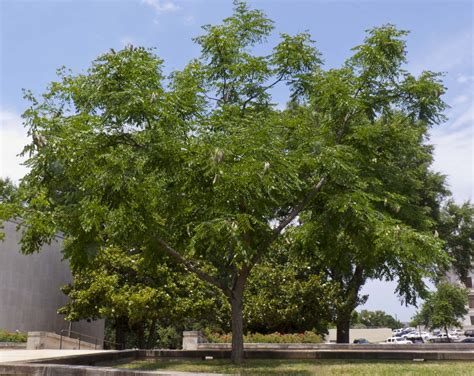 common backyard trees 100 common backyard trees common persimmon the