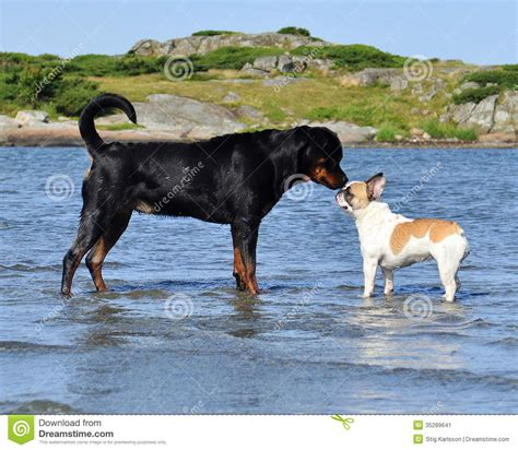 rottweiler and bulldog meeting in the blue stock image image 35289641