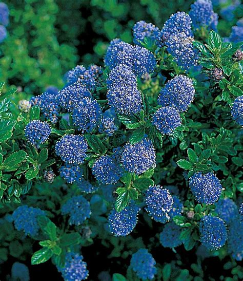Garten Pflanzen Wenig Sonne by Blauer Ceanothus Blue Mound Winterhart K 252 Bel Sonne
