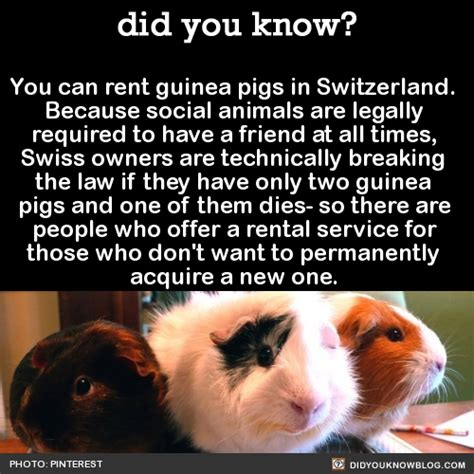 what you can rent for 1 000 a month or less in dallas did you know you can rent guinea pigs in switzerland
