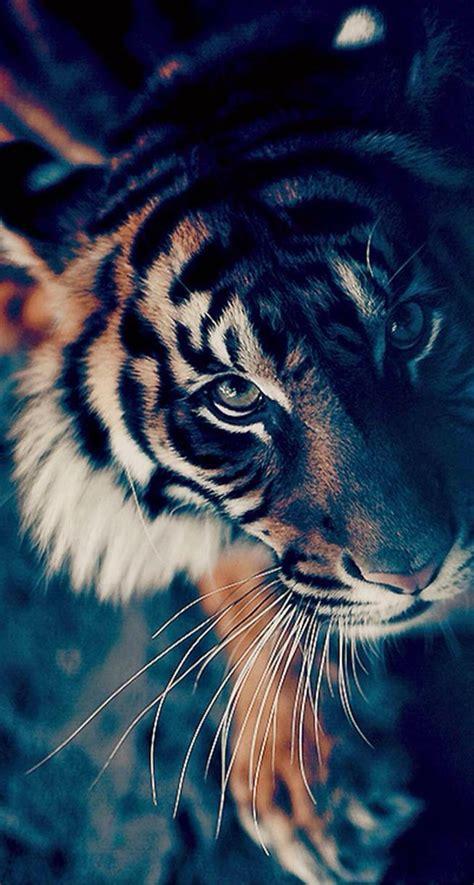 wallpaper iphone 6 tiger piszcie jakiego typu tapety chcecie a takie dodam na