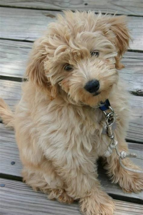 goldendoodle puppy allergies loyal intelligent gentle affectionate great desire to