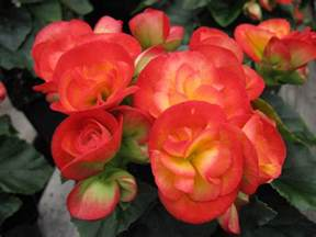 Diy Bathroom Ideas For Small Spaces How To Grow Flowering Winter Begonias