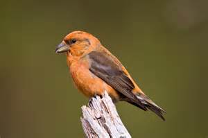 species of the month scottish crossbill scotland s nature