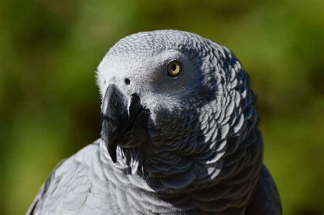 wallpaper grey birds african grey parrot wallpapers backgrounds