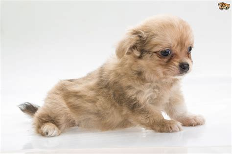 small dogs 10 of the most popular small breeds within the uk pets4homes