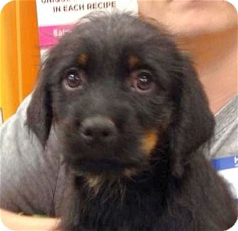 rottweiler schnauzer mix chandler 1 of 6 pups adopted puppy olive branch ms rottweiler schnauzer