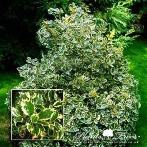 Topiary Trees - cone specimen ilex aquifolium variegatum topiary pinterest plants and gardens