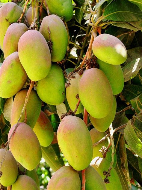 mango tree with fruits mango tree tropical fruits and vegetables
