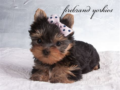 yorkie breeders in wisconsin firebrand yorkies quality terrier breeder in wi 187 firebrand yorkies