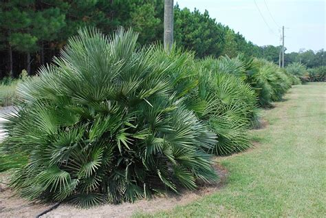 european mediterranean fan palm european fan palm chamaerops humilis true green nursery
