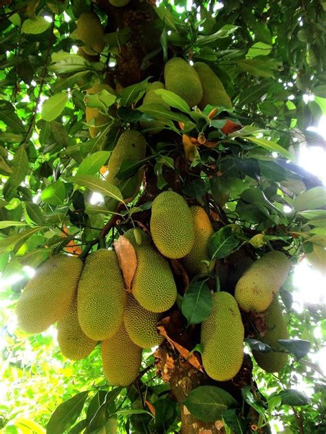tropical fruit trees houston jackfruit fruits