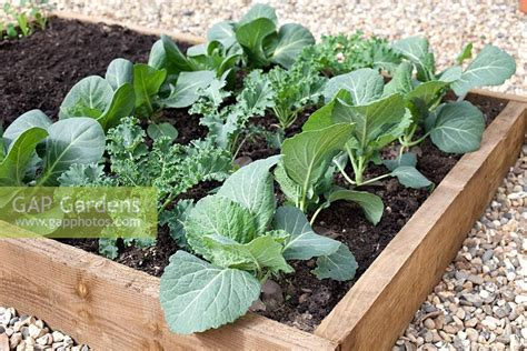 Gap Gardens Step By Step Cabbages In Raised Vegetable Step By Step Vegetable Garden
