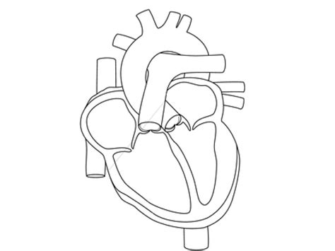 heart diagram coloring page heart anatomy coloring worksheet on muscle grig3 org