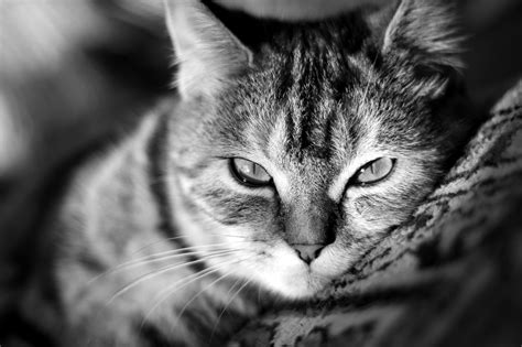 high resolution wallpaper of cat cat wallpapers high quality download free