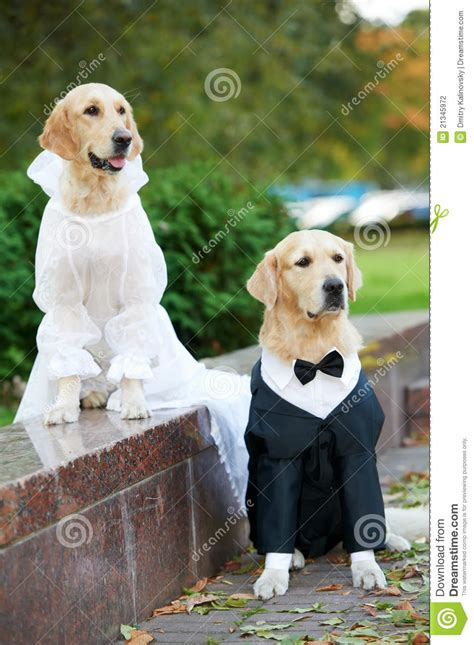 clothes for golden retrievers two golden retrievers dogs in clothing stock photo image of pedigreed 21345972