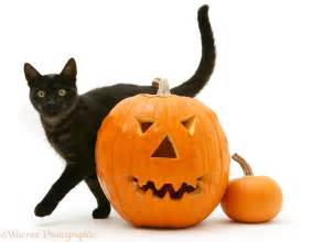 halloween black cats fotos black cat halloween pumpkin