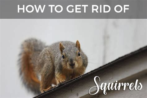 how to get rid of squirrels in the backyard squirrels in your attic or home learn how to get rid of them