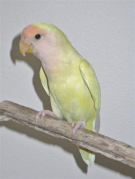 Lovebird Lutino Opaline lovebirds opaline