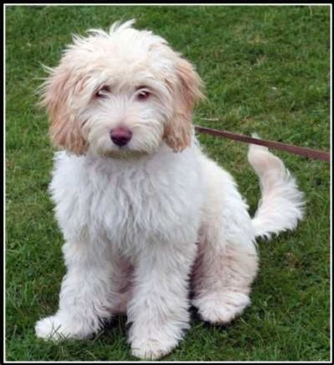 mini doodle te koop 1000 ideas about labradoodle puppies for sale on