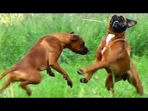 boxer vs rottweiler rottweiler boxer mix