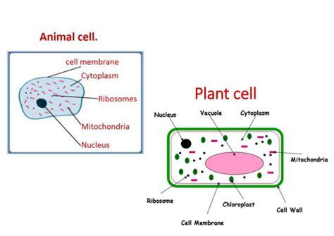 animal  plant cells ks  purplepotassium teaching