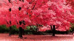 Autumn tree pink color hd desktop wallpaper background download