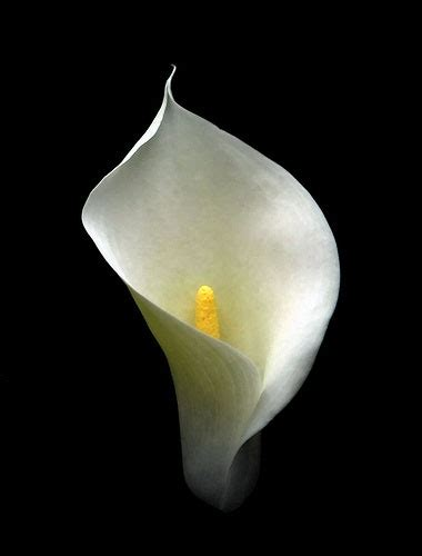 calla lily for time and all eternity